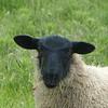 Blackface sheep in Berwick-Upon-Tweed near Holy Island