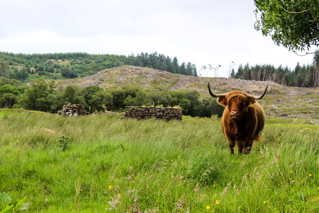 be sure to include hairy coos in your 7 day scotland itinerary