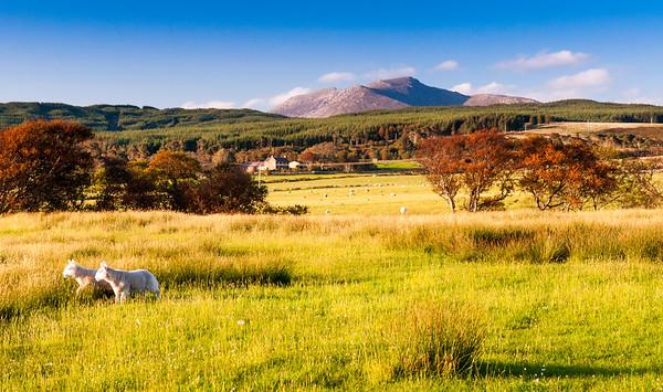 Lambs on the Isle of Arran