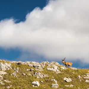 Stag on an Assynt hill