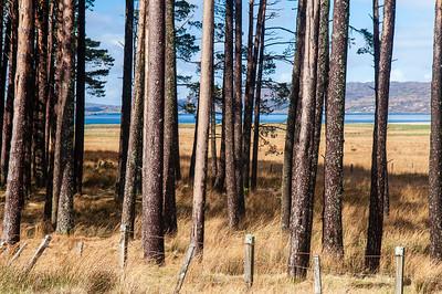 Trees at Torridon