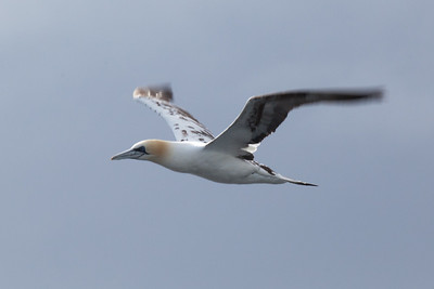 Gannet from Tarbert-Uig ferry