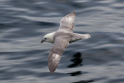 Fulmar (from the Tarbert-Uig ferry