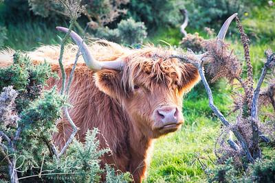 Edinburgh, Scotland: Pentland Hills Highland Cow