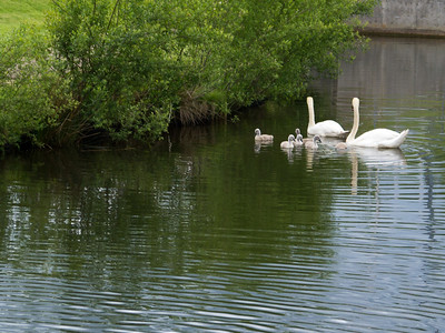 Cygnets and parents
