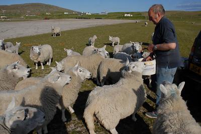 Berneray, Splash MacKillop feeding his sheep