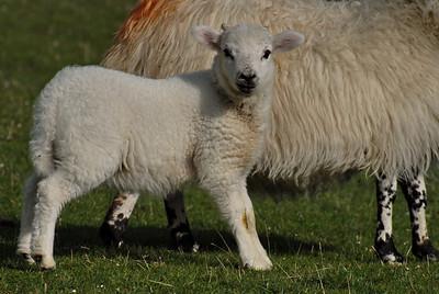 Berneray - sheep