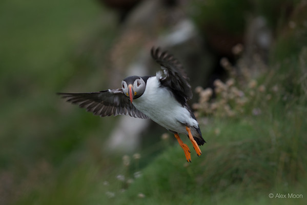 Puffin Taking Flight