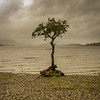 Lone Tree – Milarrochy Bay – Loch Lomond