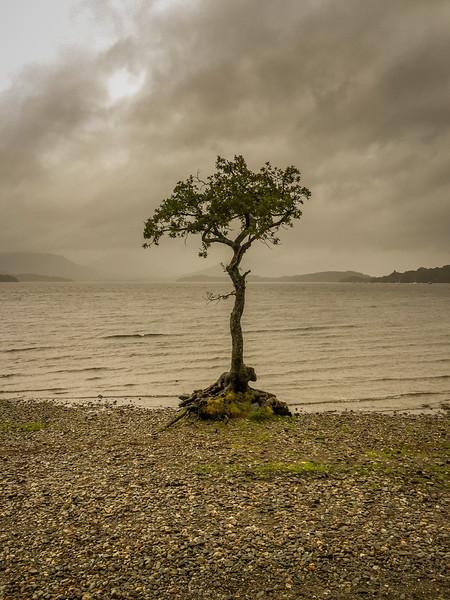 Lone Tree – Milarrochy Bay – Loch Lomond
