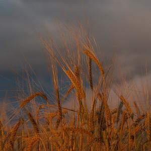 Barley 2