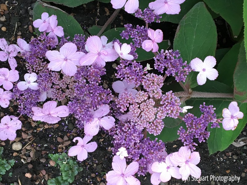 Lots of varieties of hydrangeas in beautiful colors