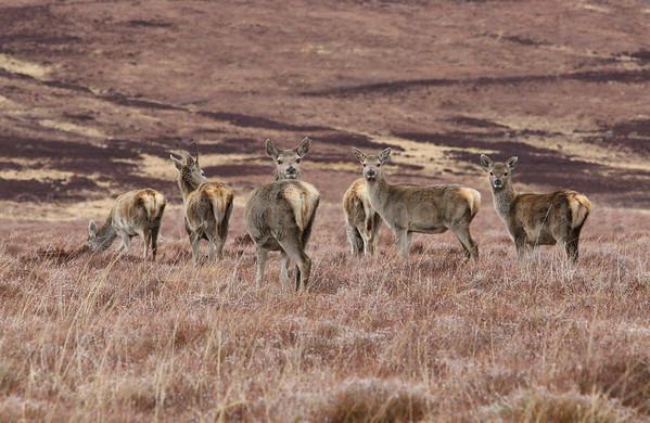 Red Deer, Flow Country, Scotland, ©LesleyDonald