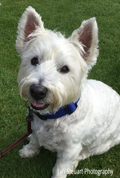 This was a happy Westie who had just enjoyed eating ice cream offered by his owner!  Saw more Westies than Scotties but they are both adorable dogs!