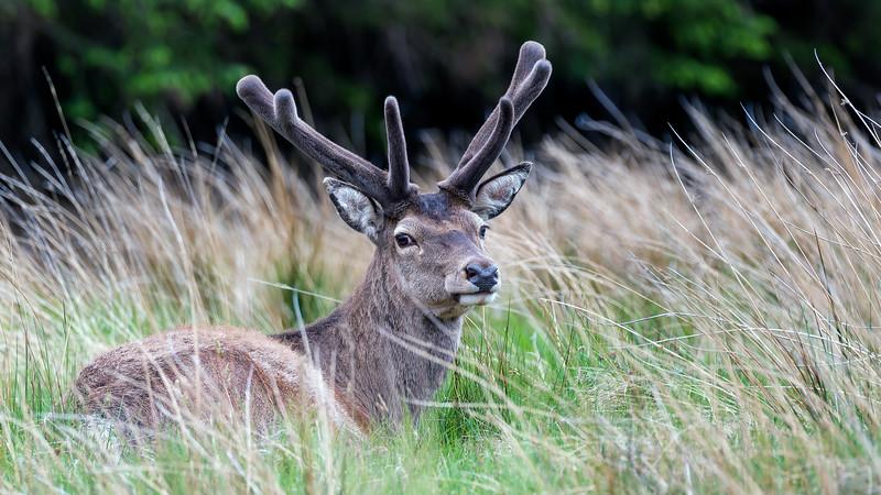 Red deer  /  Cervus elaphus  /  Edelhert