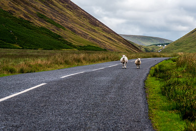 Sheeps on the road in Scotland.