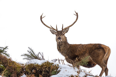 A Stag in the snow, Scotland