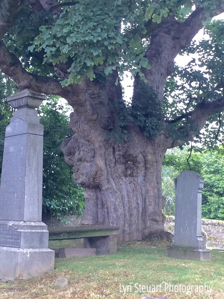 Ancient tree at the Priory at Beauly