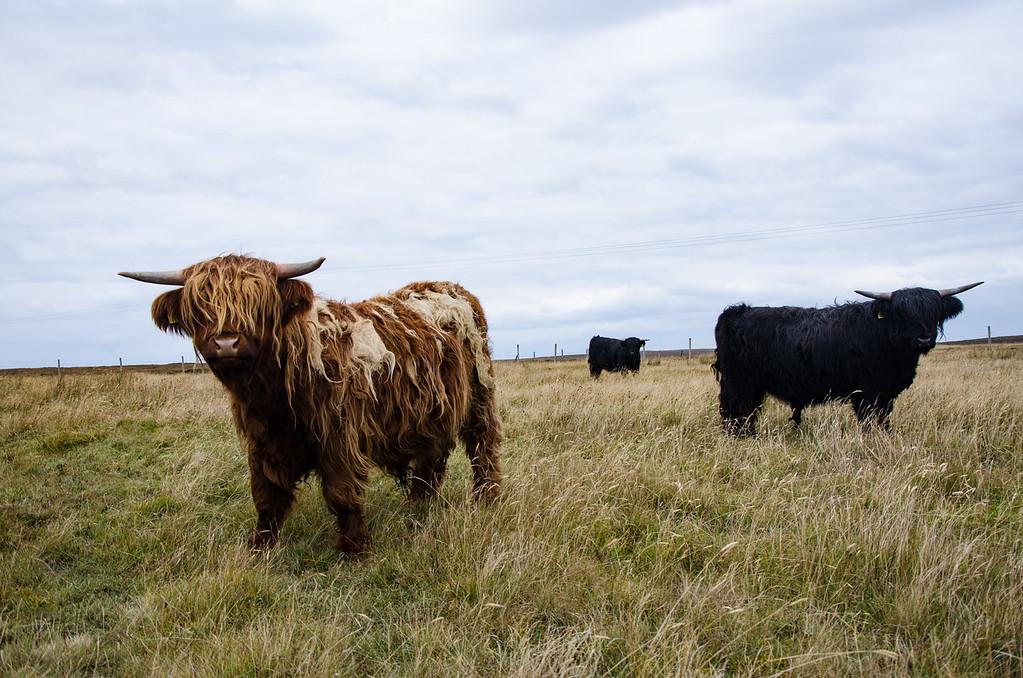 Highland Coo Stornoway Scotland