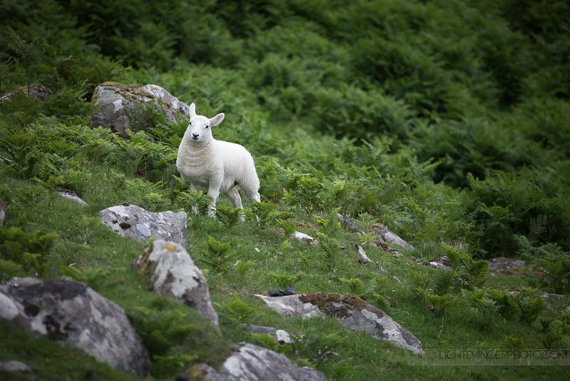 Lambykins, Isle of Skye,Scotland