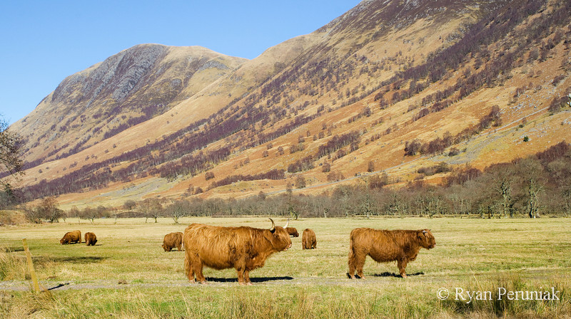 Photo:  Highland cows... in the Highlands