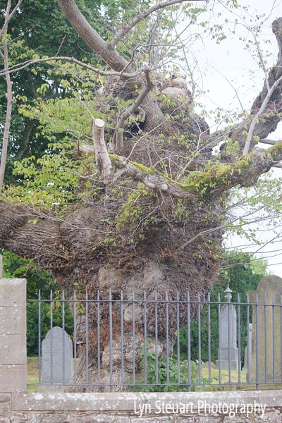 ancient tree at the Beauly Priory