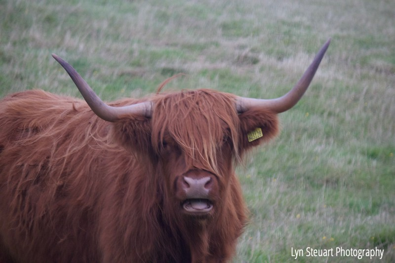 The wonderful shaggy Highland Cows or 'Heilan Coos""