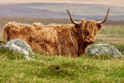 Highland Coo, North Uist
