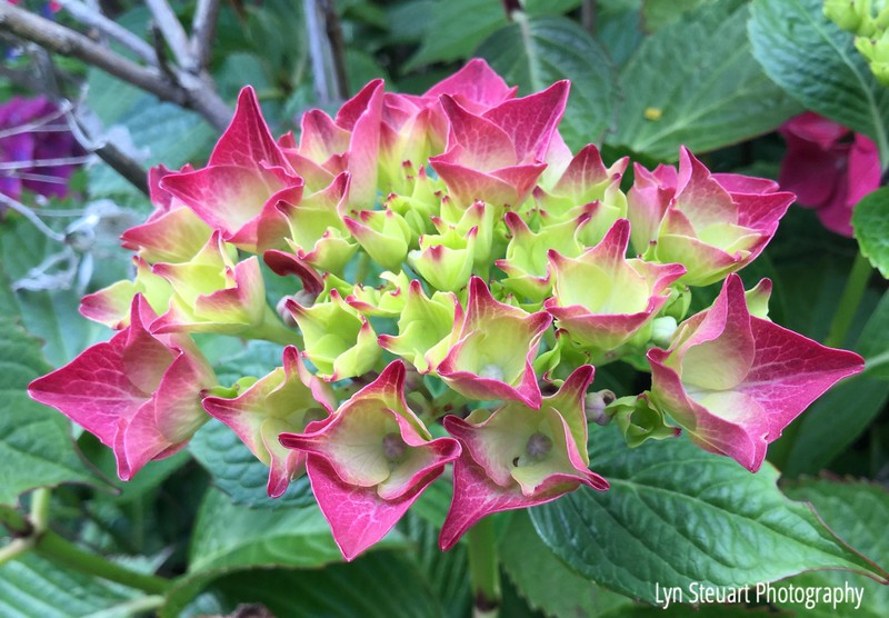 unknown but eye catching bloom,  maybe a variety of hydrangea?