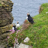 Puffin colony, west Caithness, Scotland