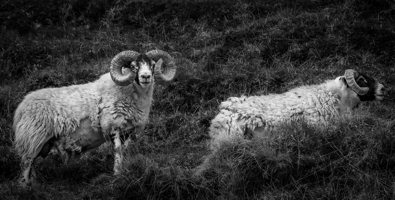 Sheep in Scotland.