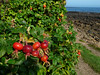Yes, Mom.  Rose hips on the other side of the Atlantic.<br /> Crail, Scotland.