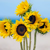 DSC00421 David Scarola Photography, Sunflowers in the Sea, August 2016, option