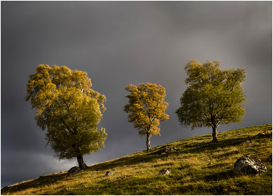 Silver birch before the storm