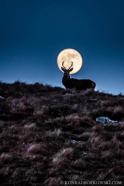 Stag at full moon in Ardlussa Estate, Isle of Jura