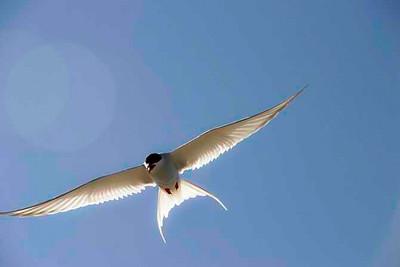 Arctic Tern Scotland
