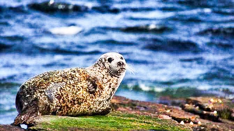 Common Seal Scotland