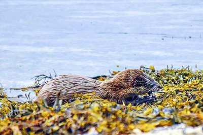 Otter feeding on the Isle of Mull
