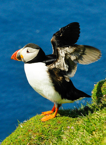 Puffin getting ready to take off