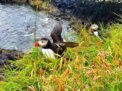 Puffins on Stafa Scotland