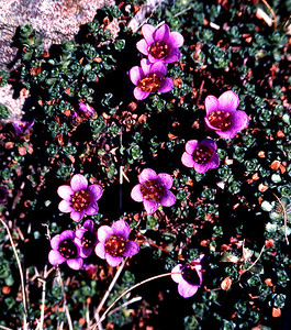 Purple saxifrage  Chno Dearg, 05/04/80