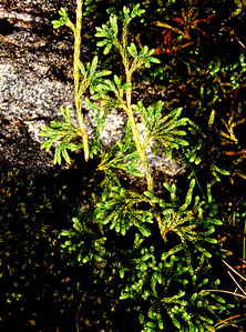 Stagshorn clubmoss [Lycopodium clavatum]  Ardgour, 18/08/91