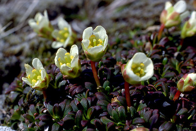 Diapensia lapponica  West Highlands, 30/05/85  ~ Diapensia is an Arctic-alpine plant with a circumpolar distribution, which in the British Isles  touches down only (as far as we know) on this hilltop in the Loch Shiel vicinity, where it was first discovered as recently as 1951, and by an entomologist rather than a botanist. Reports of one or two other sites have been discounted as misidentifications of white-flowered variants of Loiseleuria procumbans.