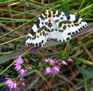 Magpie moth [Abraxas grossulariata]  Wester Ross, 24/8/06