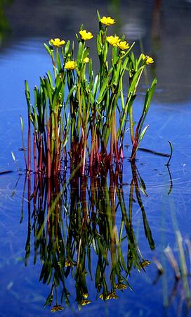 Lesser Spearwort [Ranunculus flammula].  Coir' Uisg, 13/6/95
