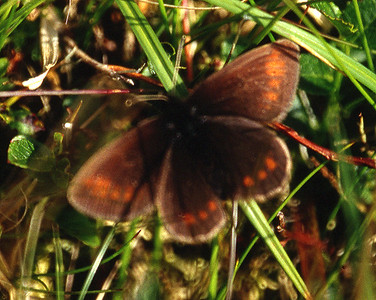 A badly out-of-focus Mountain Ringlet.