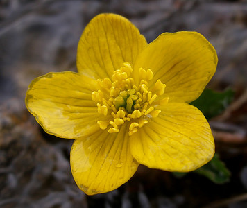 Marsh marigold [Caltha palustris]  Moruisg, 04/06/05  ~ It is always a pleasure to come across these sunnily cheerful flowers, in the damp open places of the hill.