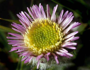Alpine fleabane [Erigeron borealis]    Ben Lawers, 18/07/93  Without prior knowledge a slice of luck is needed to find this, for it is not only rare (Lawers and a couple of Angus glens its only UK sites) but local and sporadic.