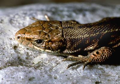 Common lizard [Lacerta vivipara]  Sgurr Dubh, Torridon, 18/6/92