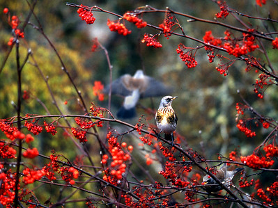Fieldfare in a rowan tree.   Glen Spean, 26/10/92  ~ Serendipity in action - I had parked the van long after dark on a random disused loop of the A86 above the Pattack, and woke the next morning to find at roof-window level this fruitful rowan under seige by a flock of fieldfare and redwings, fuelling up for the next leg of their journey south.